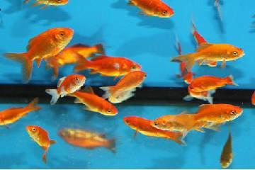 bottom feeder fish aquarium