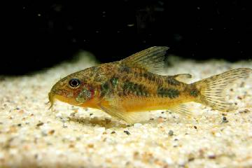 Small bottom feeder fishes