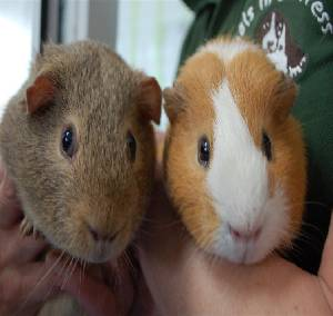 do guinea pigs have tails