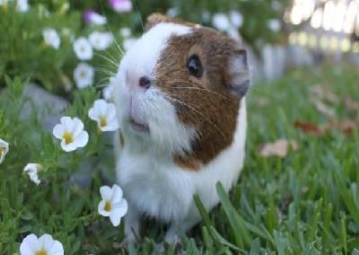 do guinea pigs blink