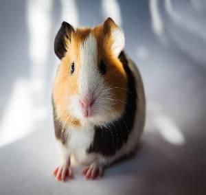 do guinea pigs like to swim