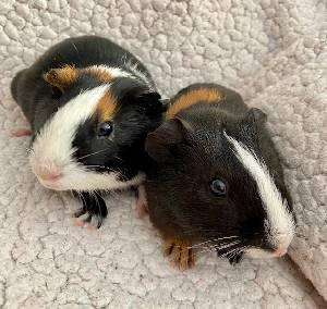 do guinea pigs swim