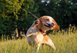 chew proof retractable dog leash