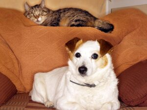comfortis for cats dogs
