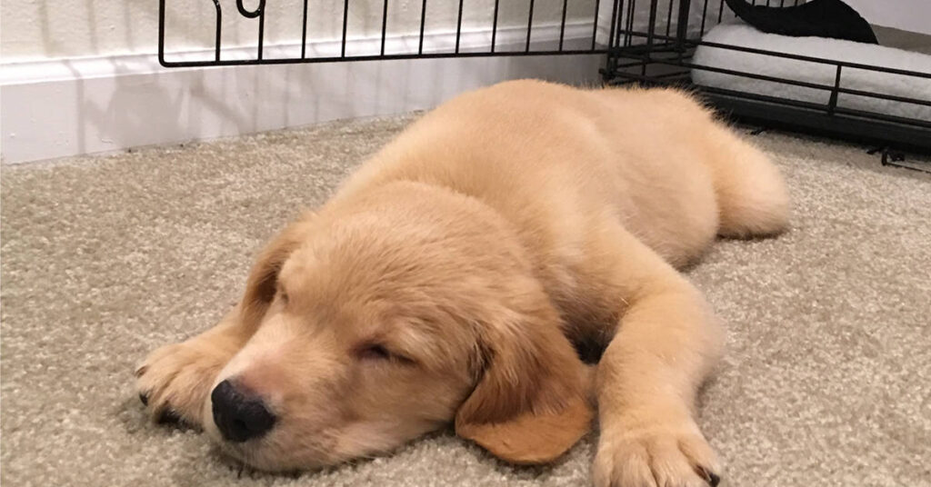what size dog crate for golden retriever