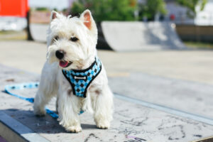 dog harness with metal buckle