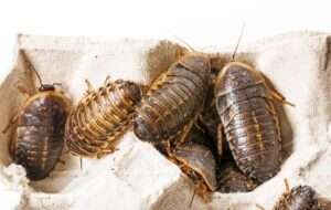 dubia roach colony kit