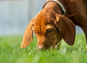 zofran dosage for dogs