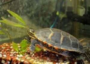 aquarium plants for turtles