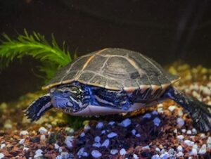 aquatic plants for turtles