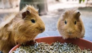 are carrots good for guinea pigs