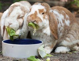 can bunnies eat guinea pig food
