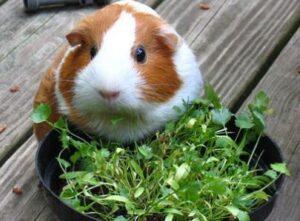 can guinea pigs eat rabbit pellets