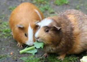 can you feed guinea pigs rabbit pellets