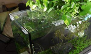 pothos in fish tank