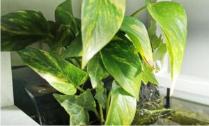 pothos in water with fish
