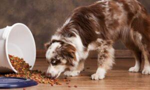 best dog food for australian shepherd