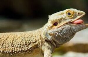 are carrots good for bearded dragons