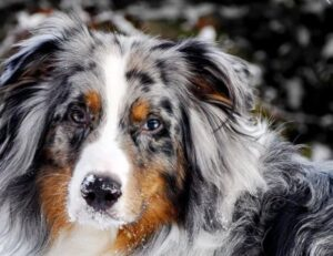 best dog food for aussies