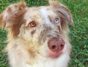 best dog food for australian shepherd puppy