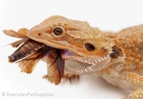 can bearded dragons eat roaches