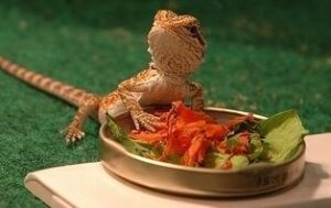 can bearded dragons have carrots