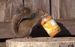 can squirrels eat peanut butter