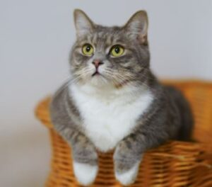 cat antibiotics without vet prescription
