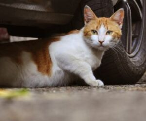 cephalexin capsule dosage for cats