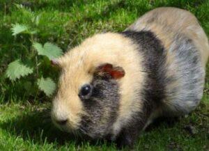 cilantro for guinea pigs