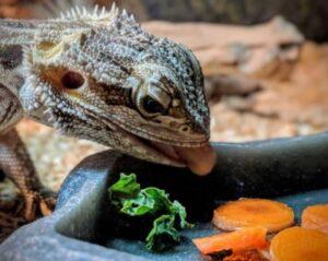 do bearded dragons eat carrots