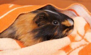 fleece liner guinea pig