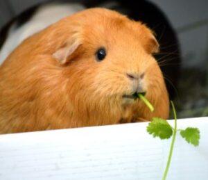 guinea pig cilantro