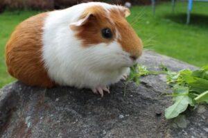 guinea pigs eat celery
