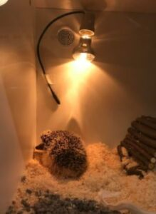 hedgehog heat lamp