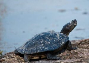 how long can turtles go without water