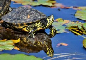 how long can turtles live without water