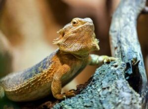 how to keep dubia roaches for bearded dragons