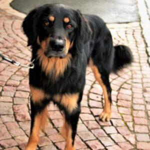 vestibular disease in dogs home treatment