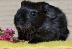guinea pig antibiotics