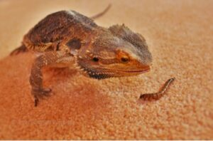 can leopard geckos eat earthworms