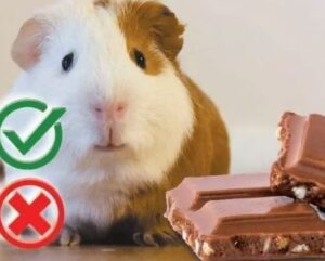 can hamsters have chocolate